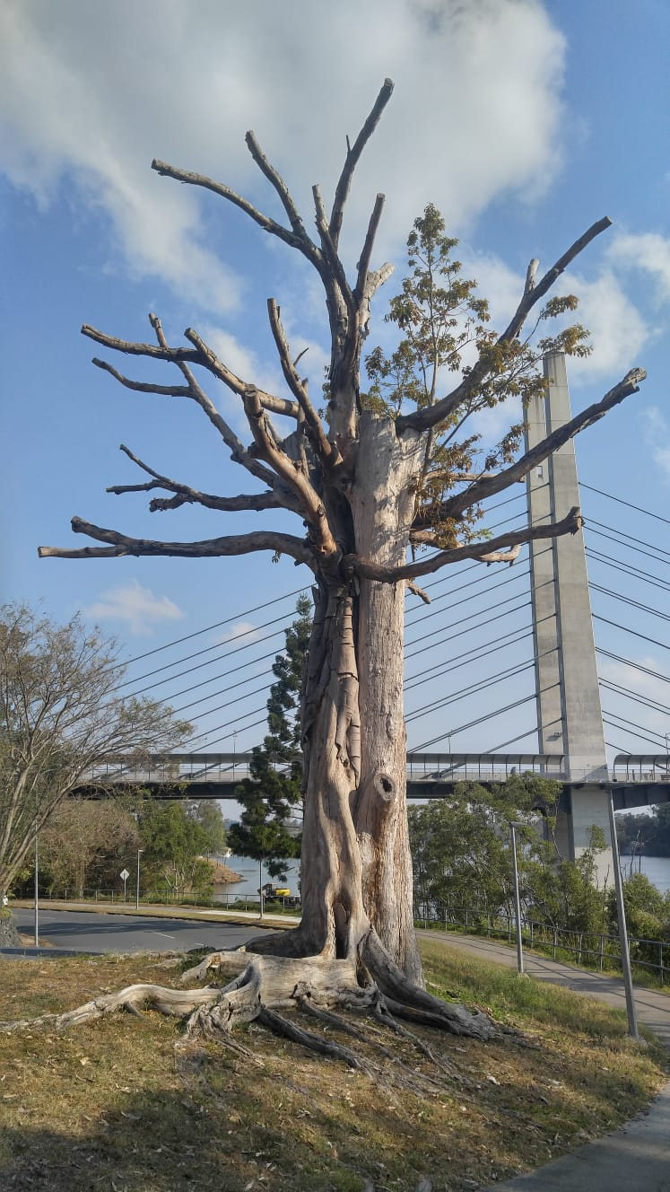 Toter Baum an der Eleanor Schonell Bridge zum Dutton Park und Secret Dog Park
